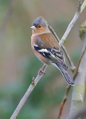 _F7R0515 Chaffinch (Fringilla coelebs) ♂ (Lathers) Tags: garden warwickshire fringillacoelebs chaffinch nuneaton ♂ canonef500f4lisusm canoneos1dx 25january2016