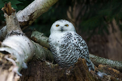 Snow owl (Schnee-Eule) (matthias.foto) Tags: park trip light wild white snow color cute bird art nature beautiful beauty birds animal animals germany deutschland photography zoo photo europe photos sweet bokeh outdoor wildlife portait sony owl alpha weiss 6000 tier vogel schneeeule eule 2015 weis schn ilce ss mirrorless a6000 fe702004