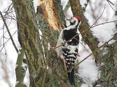 IMG_2377 (Marko_J_Aho) Tags: bird fastholma valkoselkätikka