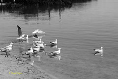reflections (2) (margaretpaul) Tags: bw seagulls reflections blackwhite gulls