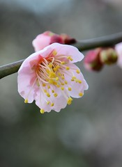image (yhshangkuan) Tags: japan blossoms plum osaka plumblossoms 2016