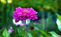 A Beauty in Bush (   (Thank you, my friends, Adam!) Tags: color macro art colors beautiful beauty closeup garden photography bush nikon colorful gallery photographer gorgeous fine excellent dslr            nikonflickraward