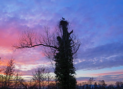 IMG_7922 Sunset stork tree (pinktigger) Tags: sunset italy tree landscape countryside italia nest country stork friuli fagagna feagne nest37