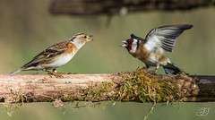 Chardonneret élégant et Pinson du Nord (Tifaeris) Tags: bird oiseau cardueliscarduelis europeangoldfinch brambling fringillamontifringilla chardonneretélégant pinsondunord fringillidés passériformes