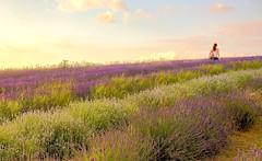 Evening Lavender (paulapics2) Tags: flowers summer nature evening soft purple lavender romantic wander hitchinlavender