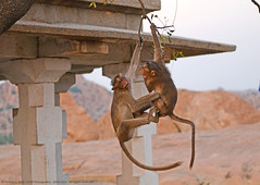 DO NOT FIGHT MY DEAR, TODAY IS VALENTINE'S DAY ! (GOPAN G. NAIR [ GOPS Photography ]) Tags: photography monkey fight air valentine hang mid valentinesday gops gopan gopsorg gopangnair gopsphotography