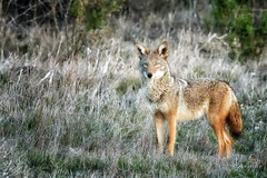 On Alert (morrobayrich) Tags: coyote alert droh canislatrans morrobayca dailyrayofhope