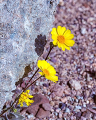 Wildflowers Under Rock (Joel Quimpo) Tags: deathvalley wildflowers blooms