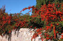 Pyracantha over the Wall 4288x2848 (Charlotte Clarke Geier) Tags: wallpapers screensavers
