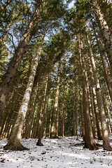 Alpine Trees (theAtanas) Tags: travel trees winter snow alps tree green tourism sunshine pine forest germany munich bayern bavaria pines rays tegernsee