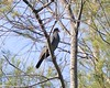 White-crowned Pigeon (E Rabeck) Tags: bird dove stmary stann baldpate boscobel jamaicawi