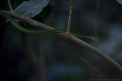 Green Vine snake (Arun Ramanan) Tags: nature beauty lines snake wildlife curves chennai nonvenomous greenvinesnake wildlifephotography oxybelisfulgidus reservedforest nanmangalam nikond7000 arunramanansphotography