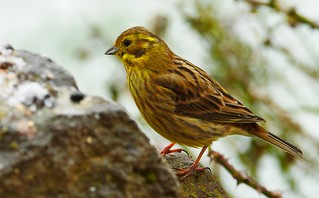 P1540153-Goldammer -Yellowhammer