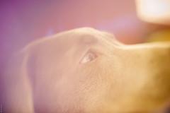 Carl | Freelensing (donlunzo16) Tags: city dog color film germany lens polaroid 50mm town eyes nikon df colorful labrador raw nef minolta stuttgart bokeh faded pack carl dreamy conversation jpg vignette lightroom f117 whacking preset vsco freelensing