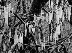 HawthornDream3 (Bugldy99) Tags: tree manipulated surrealism surreal photomanipulated catkins dreamscope fotomanipulated