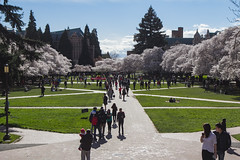 IMG_9452 (elenafrancesz) Tags: uw cherry blossoms wordless