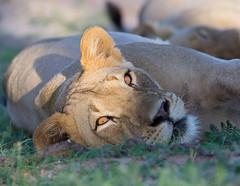 Lioness with golden eyes (jaffles) Tags: park nature southafrica wildlife natur lion olympus safari predator kalahari ktp südafrika löwe transfrontier raubkatze kgalagadi