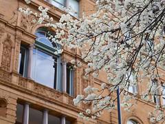 Spring in Cincinnati (Travis Estell) Tags: spring downtown cincinnati blossoms cbd springtime centralbusinessdistrict thephoenix downtowncincinnati
