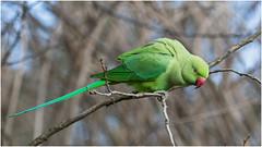 Ring-necked parakeet (pstani) Tags: uk england bird london parrot parakeet kensingtongardens psittaculakrameri ringneckedparakeet