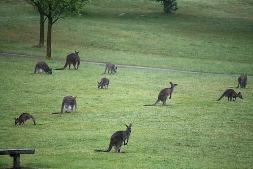 Cardinia Reservoir ~ Kangaroos by hAl1927, on Flickr