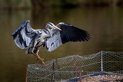 Grey Heron - Brandon Marsh (irelaia) Tags: wild bird heron grey flight brandon landing marsh greyheron brandonmarsh