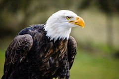 Bald eagle / Weikopfseeadler (bjoernbirkhahn) Tags: bird animal eagle bald tierpark tier vogel alder sababurg greifvogel seeadler weiskopfseeadler tierparksababurg
