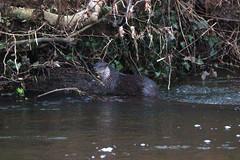 European otter (Lutra lutra) (6) (Geckoo76) Tags: otter lutralutra europeanotter