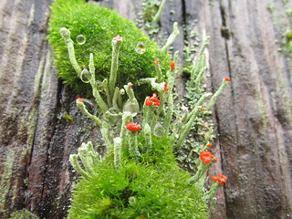 Cladonia on top of Dicranoweisia cirrata