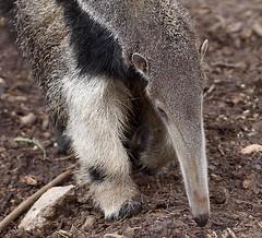 Baby Anteater- Julie Poppet (Annette Rumbelow) Tags: baby julie breeding pup captive anteater poppet vulnerable threatenedspecies longleatsafaripark annetterumbelowwilson longleatgrounds