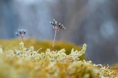 Moss (evisdotter) Tags: macro nature moss bokeh mossa sooc