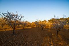 Almendros en Flor 2 (Garimba Rekords) Tags: naturaleza primavera atardecer la flor campo albacete castilla mancha almendros