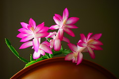 Christmas cactus succulent (TEO DE THUONG) Tags: pink flower nature spring sony ngc soe succulents twop a6000 simplysuperb artofimages