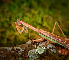Living on a Prayer (kathybaca) Tags: world green nature animal bug mantis insect earth wildlife small pray praying chinese insects bugs predator prayingmantis bonjovi pestcontrol inverabrate