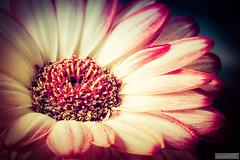 Open heart (Anneke Jager) Tags: flowers plant flower macro art flora fineart gerbera flowerpower annekejager