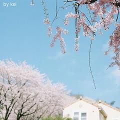 . (k) Tags: sakura hasselblad500cm filmkodakportra160