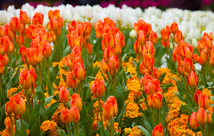 Massed band (Steve-h) Tags: park flowers ireland red dublin orange plants white green nature yellow outdoors gold daylight spring europe day colours dof purple tulips blossoms eu natura depthoffield april polyanthus ststephensgreen primulas 2016 steveh