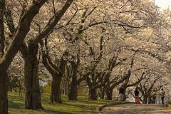 Getting ready for Sakura magic (Iskou-Hee) Tags: toronto nature highpark blossom sakura naturesfinest iskouhee