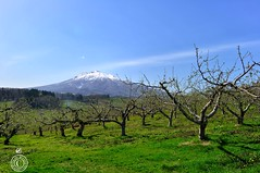 Apple Blossoms Coming Soon.  Glenn E Waters. Japan 2016. (Glenn Waters in Japan.) Tags: mountain snow japan volcano hirosaki iwaki appletrees      glennwaters