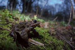 Frog in the woods after dark, Wide angle,  Somerset, Ian Wade (Disorganised Photographer - Ian Wade - Travel, Wil) Tags: nature dark ian spring woods angle wildlife wide somerset frog wade common lowangle
