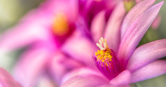 pink sun of Spring (frederic.gombert) Tags: pink flowers light red summer sun flower color macro colors spring dof purple bokeh