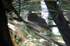 Ferruginous Pygmy-Owl - Glaucidium brasilianum - Santa Brbara, Heredia, Costa Rica - October 27, 2003 (mango verde) Tags: bird costarica owl owls heredia pygmyowl ferruginouspygmyowl glaucidiumbrasilianum strigidae santabrbara glaucidium brasilianum