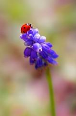 Ladybird, Ladybird (paulapics2) Tags: red flower cute nature garden insect spring flora sweet bokeh ladybird ladybug canon5d colourful muscari grapehyacinth