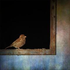 Piepmatz (me*voil) Tags: bird texture window sparrow stable spatz