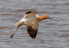 American Avocet landing (tresed47) Tags: birds us content places delaware folder waders takenby avocet 2016 bombayhook peterscamera petersphotos canon7d 201604apr 20160418bombayhookbirds