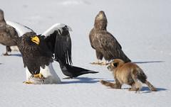 Japan (richard.mcmanus.) Tags: winter bird ice animal japan hokkaido eagle wildlife fox gettyimages mcmanus stellersseaeagle lakefuren lakefurenko