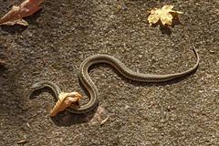 Lethargic Thamnophis sirtalis (common garter snake) (bhwp.photo) Tags: usa pennsylvania newhope snakes reptiles thamnophissirtalis commongartersnake towerroad bowmanshill