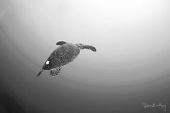 Hawksbill (Randi Ang) Tags: sea bali canon indonesia photography eos bay underwater angle turtle wide dive scuba diving fisheye hawksbill ang 15mm randi 6d amed jemeluk