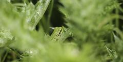 Rainette verte - 01 (alexandreweber_zootrope) Tags: france nature animal plante vert provence extrieur verdure grenouille herbe camargue faune rainette amphibien
