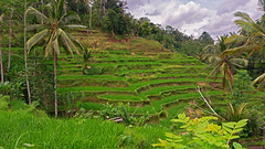 From Above (Hafiz.Soyuz.Photography) Tags: trees bali green industry nature indonesia village paddy terrace farm unique hill layers local farmer organic agriculture income agro