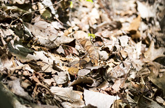 Northern Copperhead (Jim-B-1979) Tags: nature reptile tennessee venomous copperhead pitviper agkistrodoncontortrix